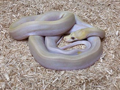 Picture of Albino Super Motley Reticulated Python