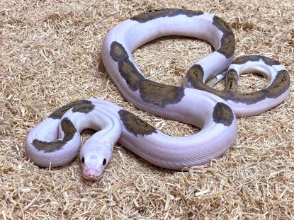Picture of Male Pied Platinum Tiger (Possible Citron)